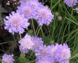Scabiosa Columbaria Butterly Blue