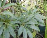 Schefflera Venulosa [Leucantha]