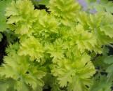 Tanacetum parthenium aureum