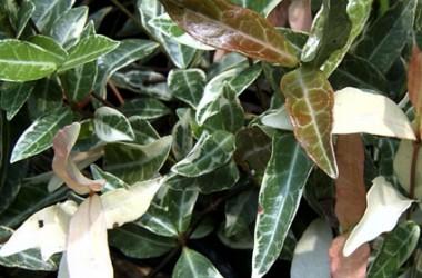 Trachelospermum jasminoides variegatum [hort]