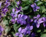 Viola cucullata [hyb?] Partly Cloudy