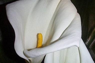 Zantedeschia aethiopica Natal
