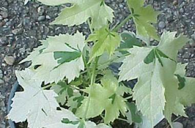 Abutilon hybridum Savitzii