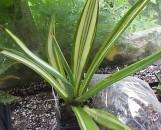 Agave sissilina variegata / striata [hort]