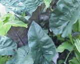 Alocasia plumbea nigra [atropurpurea]