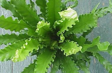 Asplenium nidus antiquum Osaka