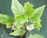 Begonia Lois Burks [hyb]
