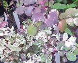 Breynia disticha roseo-picta