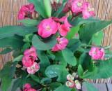 Euphorbia milii Pet Mongkoi