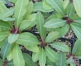 Euphorbia perrieri elongata