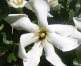 Gardenia cornuta