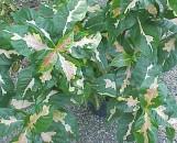 Graptophyllum pictum waimea
