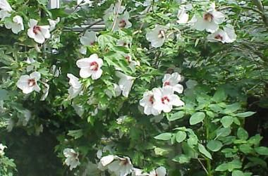 Hibiscus Lohengrin [hyb]