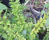 Ligustrum Lemon and Lime