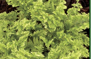 Nephrolepis exaltata Fringed Vase