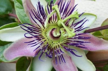 Passiflora alato-caerulea [hyb]