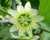 Passiflora biflora [lunata]
