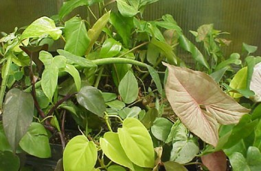 Philodendron Collection: Rare & Unusual (5)