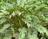 Philodendron Xanadu Pp7030