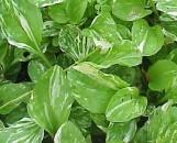 Plantago asiatica variegata