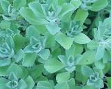 Plectranthus Turpentine [marrubioides?]