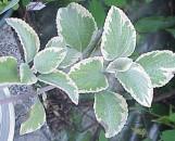 Plectranthus argentatus Hillhouse