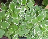 Plectranthus madagascariensis marginatus