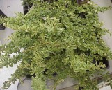 Pyracantha angustifolia Harlequin