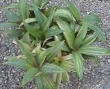 Tradescantia (Rhoeo) bermudensis variegata (Gold)