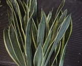 Sansevieria trifasciata goldiana [hort]