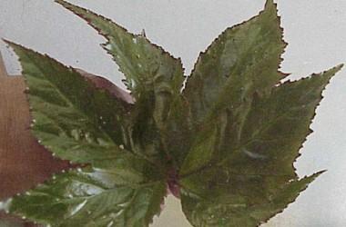 Begonia Big Mac [hyb]