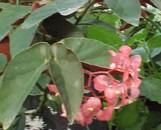 Begonia Castaway