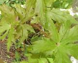 Begonia Earl-Ee-Bee [hyb]