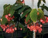 Begonia Honeysuckle [hyb]
