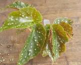 Begonia Tom Ment [hyb]