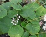 Begonia popenoei