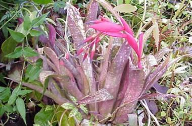 Billbergia saundersii
