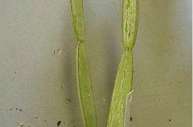 Cissus hamaderohensis