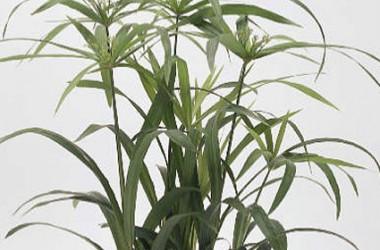 Cyperus albostriatus [diffusus]
