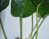 Dorstenia turneraefolia