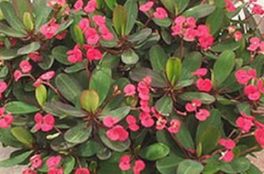 Euphorbia milii Bing Cherry [hyb]
