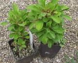 Euphorbia beharensis Cranberry Cowboy [hyb]