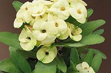 Euphorbia milii Creme De Menthe [hyb]