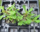 Euphorbia milii morbius [hyb]