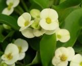 Euphorbia milii Spam Ballet
