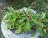 Euphorbia milii bosseri Crest [hyb]