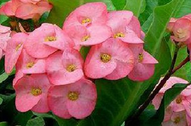 Euphorbia delphinensis Pretty In Pink [hyb]