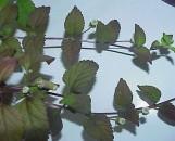 Lippia [phyla] dulcis