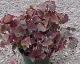 Oxalis Maroon Leaf [floribunda?]