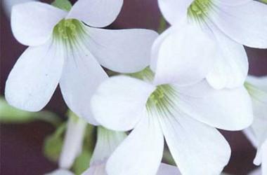 Oxalis rubra alba [crassipes]